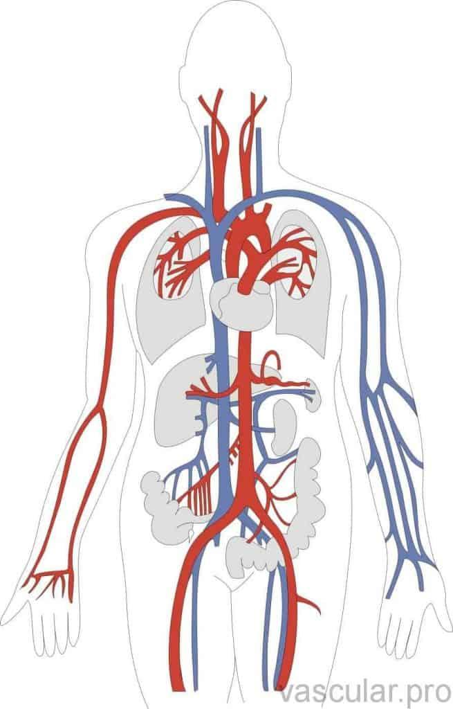 Sistema circulatório vascular