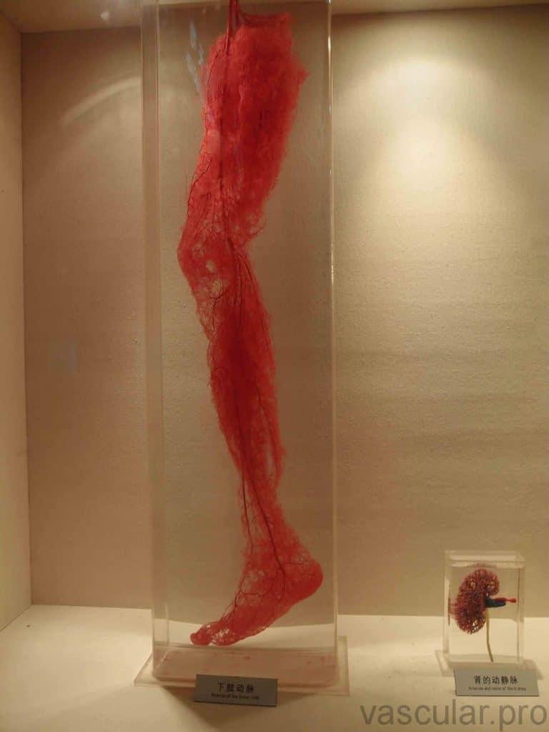 Sistema vascular nas pernas